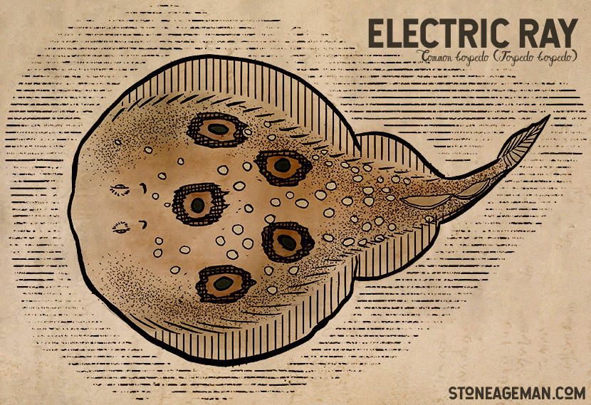 Electric Ray - Common Torpedo ray