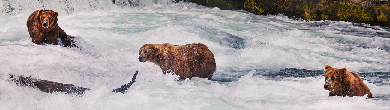 brown bears in stream