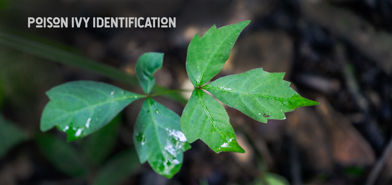 poison ivy treatment and identification